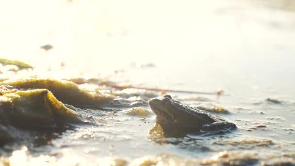 Grüner Frosch im Teich in einem Sumpf. rana esculenta. Frosch auf der Natur im Wasser. Konzept des wilden Tierlebens