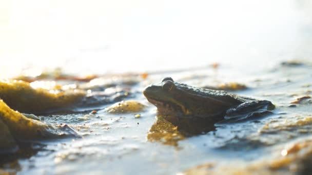 Grüner Frosch im Teich in einem Sumpf. Rana Lifestyle Esculenta . Frosch auf die Natur im Wasser. Wildtierkonzept