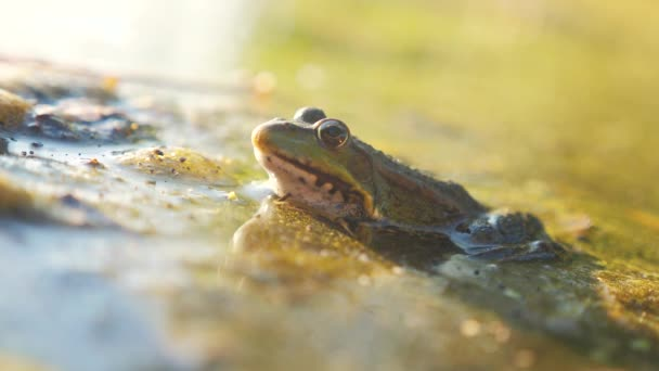 green frog in the pond in a swamp. Rana Esculenta . frog on nature in water lifestyle . animal wild concept