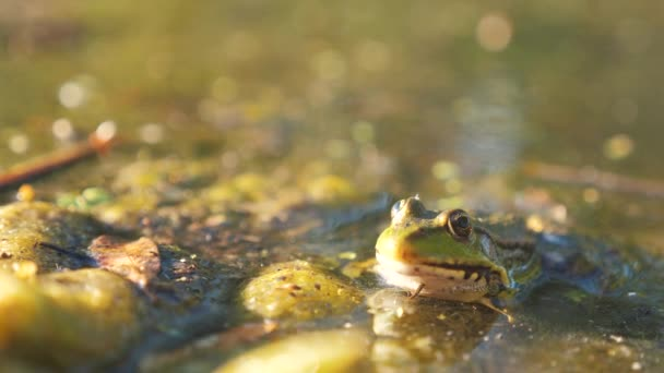 Grüner Frosch im Teich in einem Sumpf. rana esculenta Lebensstil. Frosch auf der Natur im Wasser. Tierisch wildes Konzept
