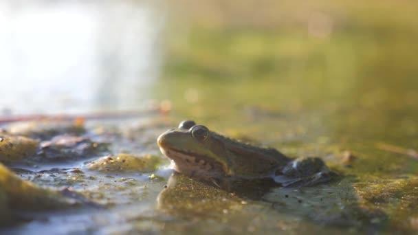 Grüner Frosch im Teich in einem Sumpf. Lebensstil Rana Esculenta . Frosch auf die Natur im Wasser. Wildtierkonzept
