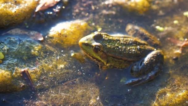 Grüner Frosch im Teich in einem Sumpf. rana esculenta. Lebensstil der Frösche in der Natur im Wasser. Tierisch wildes Konzept