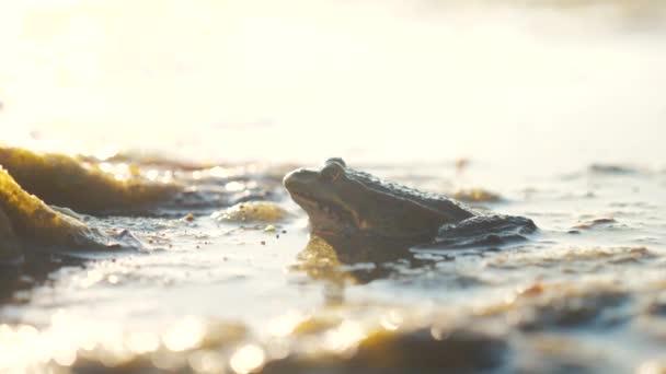 Grüner Frosch im Teich in einem Sumpf. rana esculenta. Frosch auf die Natur in Wasser Lebensstil. Wildtierkonzept