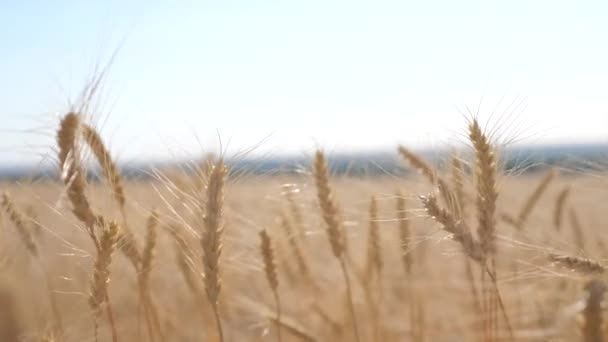 Wheat crop field sunset landscape slow motion video. farmer Smart farming agriculture ecology concept. Wheat field. Ears of golden wheat close up. Beautiful Nature Sunset Landscape. Background of