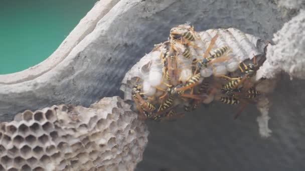 Wespen unter dem Dach des Hauses schädigen. Wespennest. Wildwespen-Zeitlupe-Video. Gefahr für Allergiker durch Biss