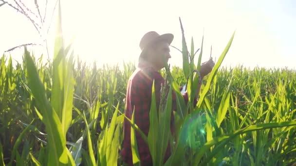 Inteligentní farmářství s pomalým pohybem videa. v kukuřičném poli má počítač dotykové podložky tabletu před sklizní a zkoumáním plodin plodiny. Pojem Agribusiness. Muž