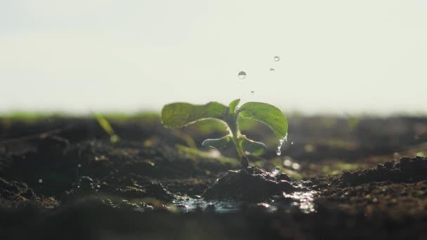 Mezőgazdaság öko-gazdálkodás. A világ a talaj mindennapi koncepciója: csepp víz esik a növény hajtás növény zöld szirmok a talajban területen a talaj leng a szél. öntözés a növény lassított zöld levelek