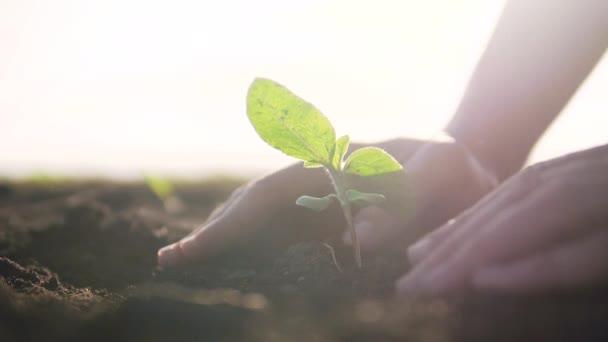 Mezőgazdaság öko-gazdálkodás. A talaj világnapjának koncepciója: a férfi gazdák zöld levelű hajtásokat hajtanak végre magfával, homályos mezőgazdász hátterű talajjal. férfi farmer dolgozik a területen életmód