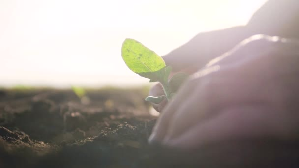 Mezőgazdaság öko-gazdálkodás. A talaj világnapjának koncepciója: a férfi gazdák zöld levelű hajtásokat hajtanak végre magfával, homályos mezőgazdász hátterű talajjal. férfi farmer életmód dolgozik a területen