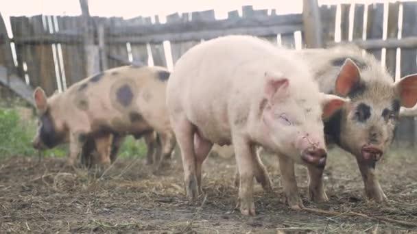 vicces disznók szaglásznak levegő gazdálkodás mezőgazdasági koncepció. disznó életmód egy régi farmon. felnőtt malacok tollban futnak egy régi farmon