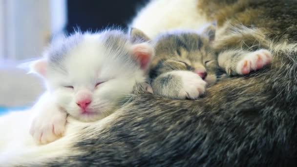 dvě roztomilá koťátka, co spolu spí. šedá a černá a bílá koťata si zdřímnou. Domácí mazlíčci. Péče o zvířata. Láska a přátelství. životní styl Domácí zvířata