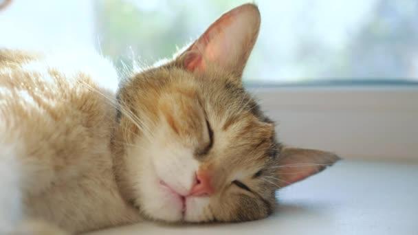 A macska az ablakpárkányon alszik, boldog család. Tricolor macska alszik egy ablakon a napfény sugarai aranyos videó. macska kisállat család életmód tag