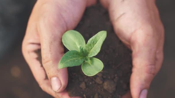 Farmářská ruka drží čerstvou mladou rostlinu slunečnici. muž ruce drží hlínu zelenou mladou rostlinu. ekozemědělství Symbol jarní a ekologické koncepce nového života a životního stylu ochrany životního prostředí