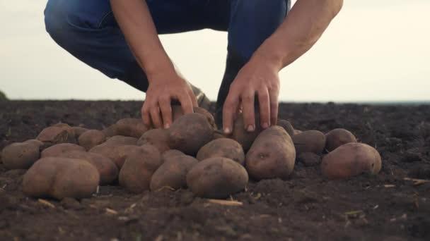 chytré zemědělství. muž farmář životní styl a vybírá bramborové plodiny zpomalené video. koncepce zemědělské sklizně. samec prostý v červené krk gumové boty během sklizně