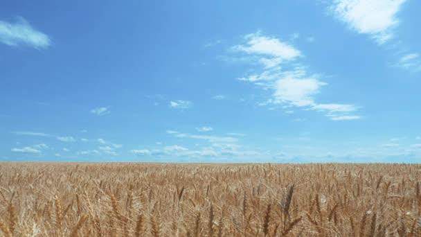búzamező kukoricafülekkel és gabonafélékkel a háttérben. az ökotermelés koncepciója a mezőgazdaságban. mezőgazdasági terület arany gyönyörű életmód fülek búza közelkép