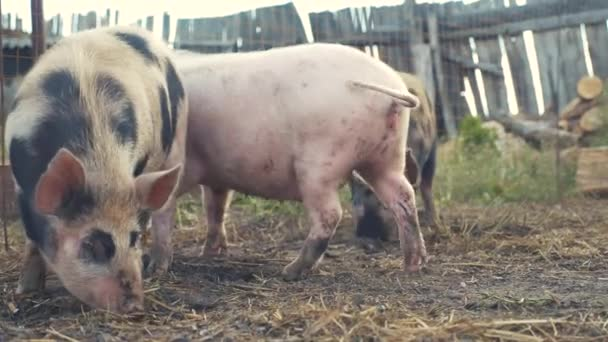 vicces disznók szagolgatják a talajművelés fogalmát. disznó egy régi farmon. felnőtt malacok futnak egy tollban egy régi farm életmód