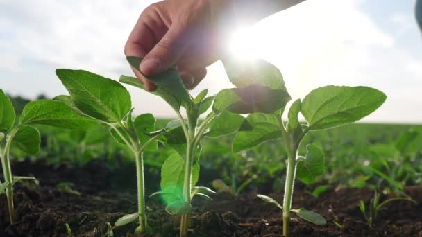 agriculture environmental protection. farmer hand touches pouring sunflower plants low on black soil. farmer hand checks the crop in agriculture. planet eco protect concept