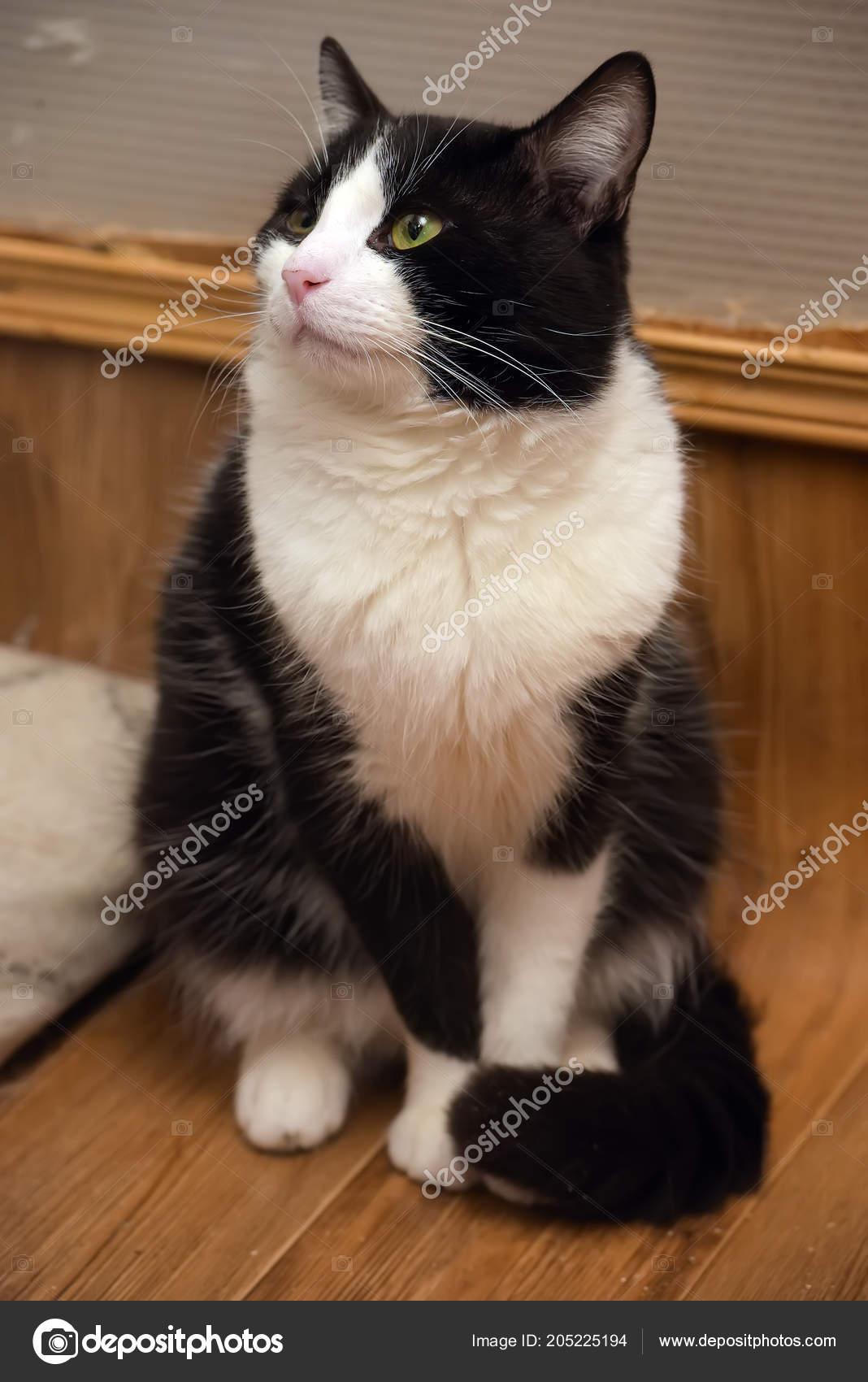 Gatto Bianco Nero Pelo Corto Riparo Foto Stock Evdoha 205225194