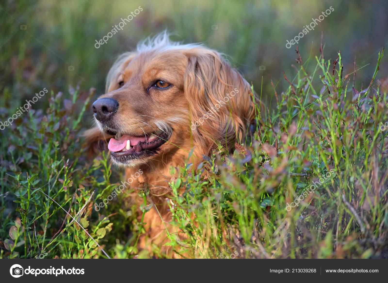 d8c83b15f69 Krásný Zrzavý Anglický Kokršpaněl Lese Mezi Keři Borůvkový — Stock  fotografie