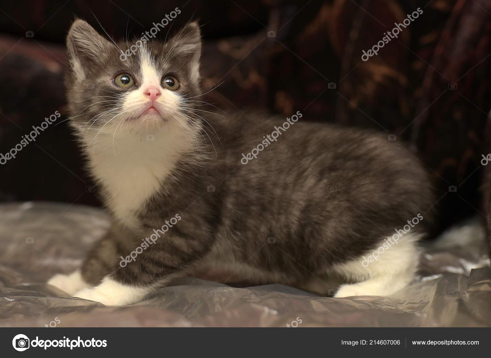 Grigio Divertente Con Gattino Bianco Sfondo Scuro Foto Stock