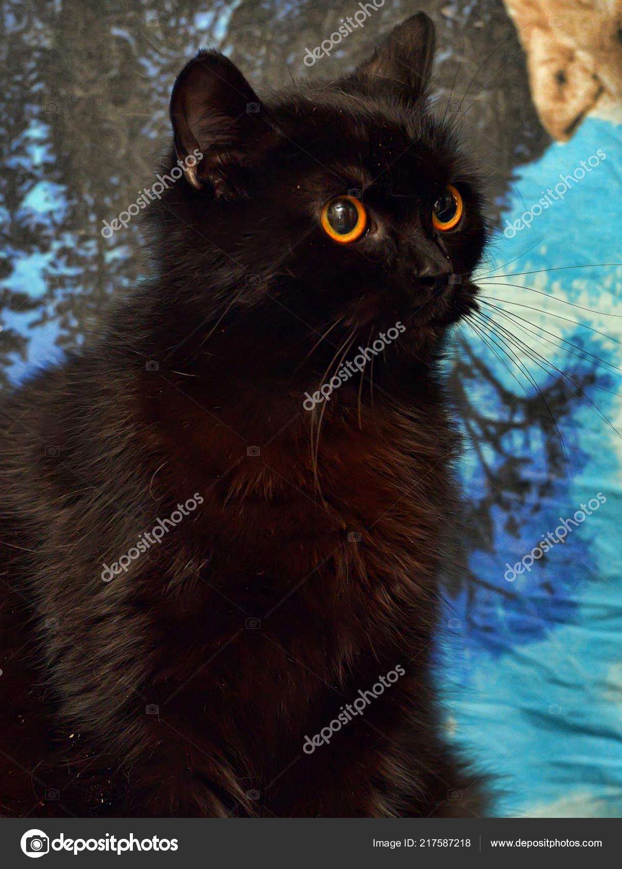 Černá chlupatá kočička