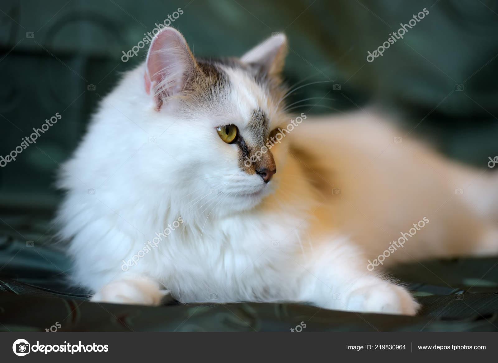 Beautiful White Fluffy Cat Brown Markings Stock Photo C Evdoha 219830964
