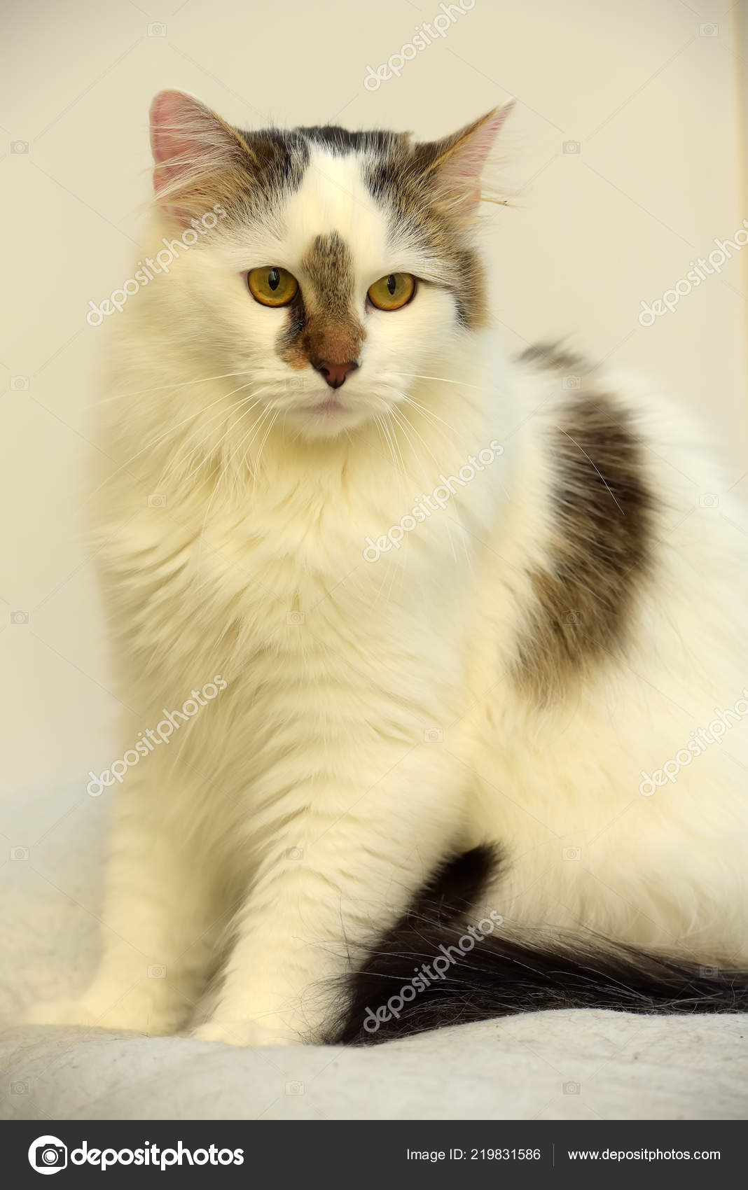 4e62bcf2ea Turkish Van Cat Breed Light Background — Stock Photo © evdoha  219831586