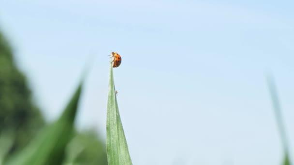 pomalý pohyb beruška odletí ze stébla trávy za slunečného dne