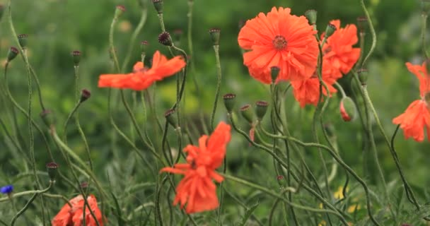 Flowers Red poppies blossom on wild field. Beautiful field red poppies with selective focus. soft light