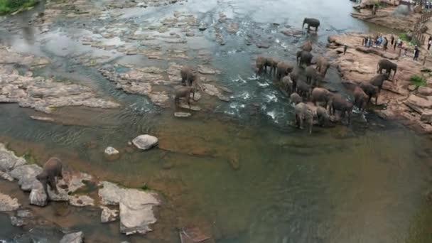 Sloni, koupání v řece. Pinnawala Elephant Orphanage. Srí Lanka.