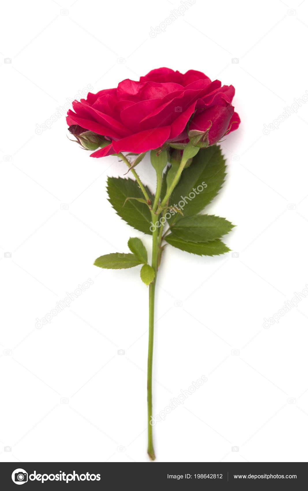Single Red Rose Hd Wallpaper Single Red Rose Flower