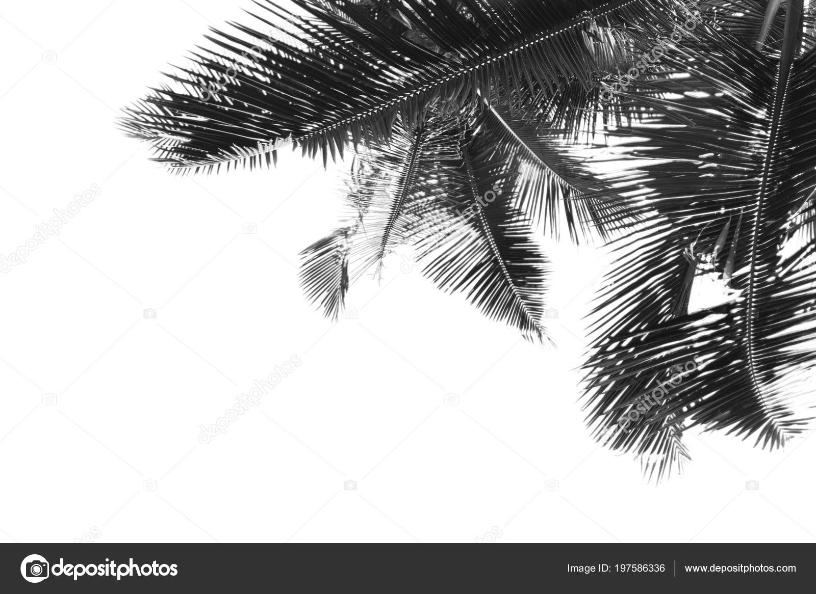 Black and white palm leaves is over white background photo by robertsrob