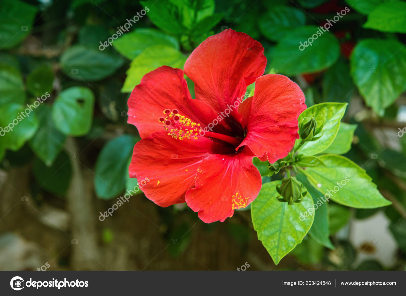 Red Hibiscus Flower Garden Water Drops Detail Stamen Pistil Green Stock Photo C Kuzenkova 203424848