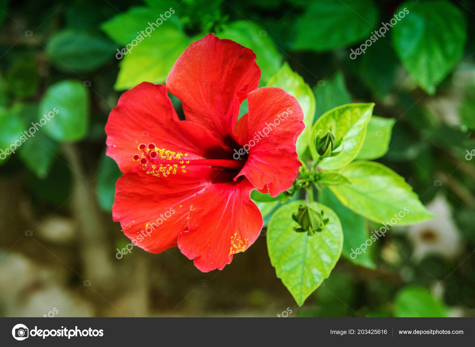 Red Hibiscus Flower Garden Water Drops Detail Stamen Pistil Green