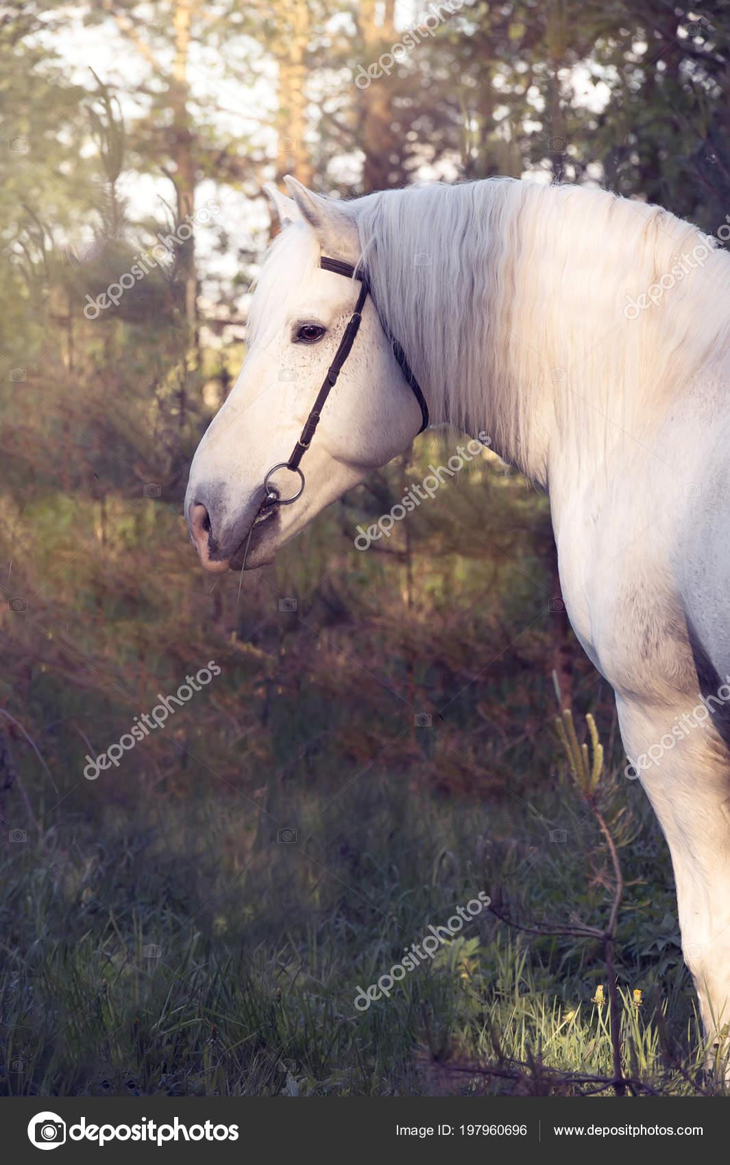 Pictures Percheron Draft Horse Portrait White Percheron Draft Horse Forest Stock Photo C Anakondasp 197960696