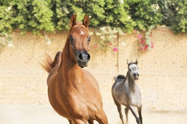 running arabian horses in the  paddock