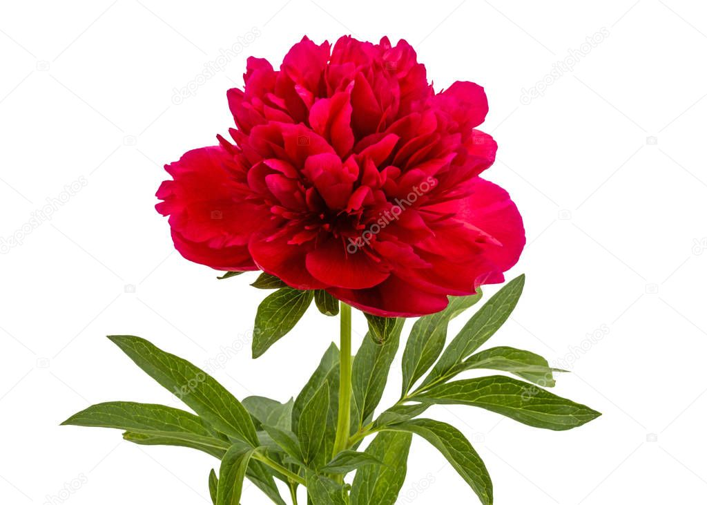 Flower of red peony, isolated on white background