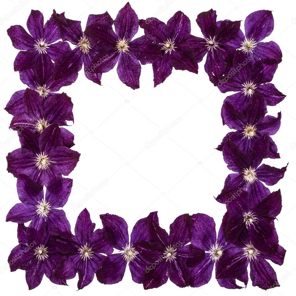 Square frame from  the flowers of clematis, isolated on white backgroun