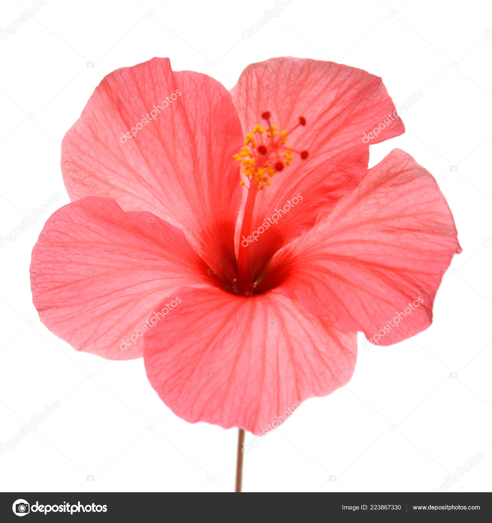 Pink Hibiscus Flower Isolated White Background Flat Lay Top View