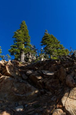 Resilient trees growing in very hard conditions with very little soil and extreme temperature changes with short growing seasons in Crater Lake National Park, Oregon