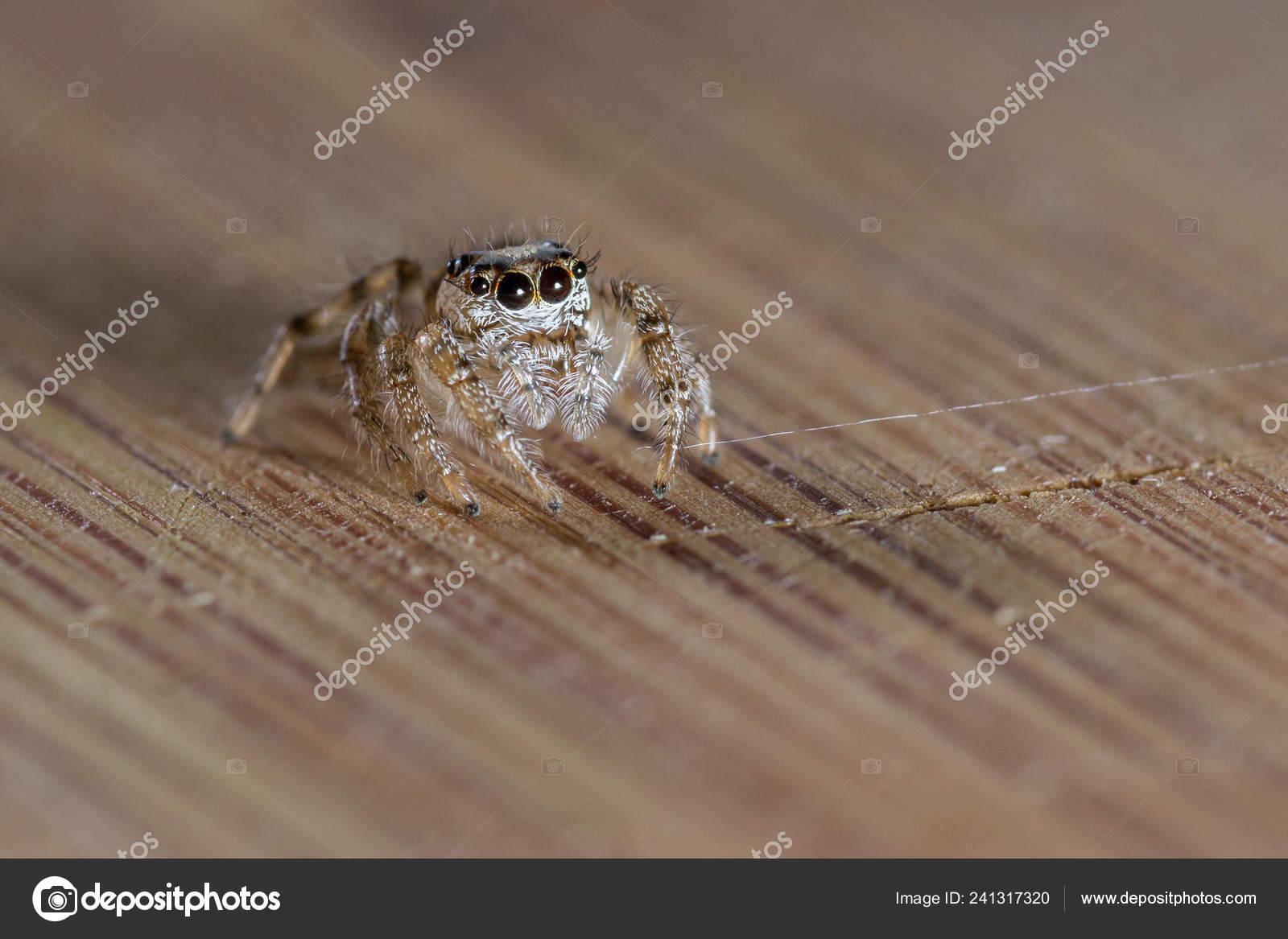 Close Small Jumping Spider Large Eyelashes Standing Wooden