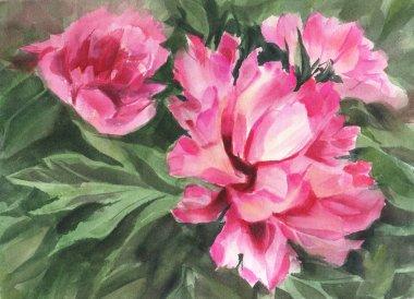 Pink peonies. Watercolor drawing.  Peonies. Hand-drawn illustration.