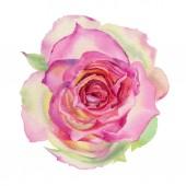 Akvarell rose vörös elszigetelt fehér background. Kézzel rajzolt ábra