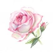 Rózsaszín akvarell Rózsa elszigetelt fehér background. Kézzel rajzolt ábra.