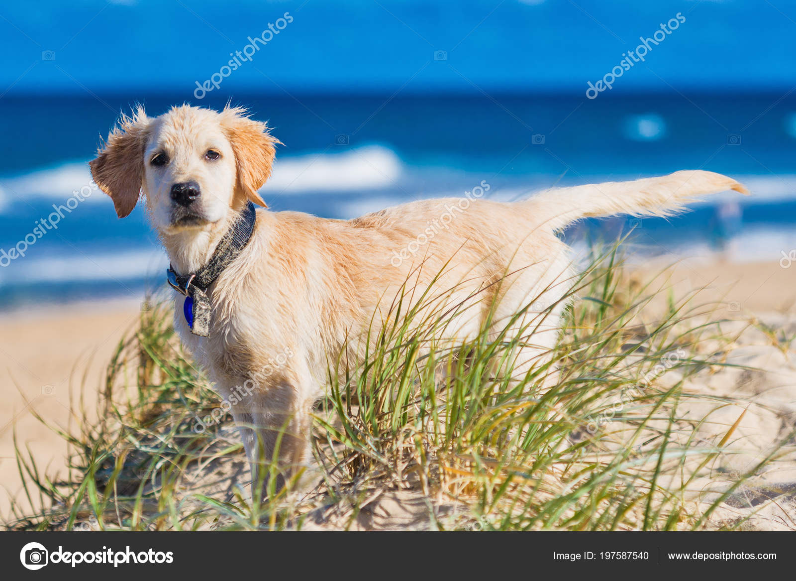 Golden Retriever Puppy Exploring Beach Surroundings Stock Photo C Mvaligursky 197587540