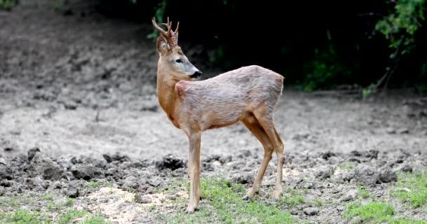 Roe buck na okraji lesa, rozhlédl se opatrně kolem sebe