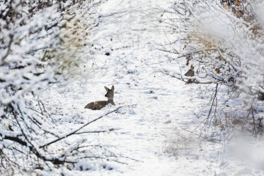 Roe deer Capreolus capreolus in winter. Roe deer with snowy background. Wild animal with snowy trees on background.