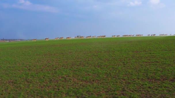 eine große Rotwildherde, Männchen und Weibchen, gefilmt von Drohnen auf einem Feldbauernhof im Frühjahr