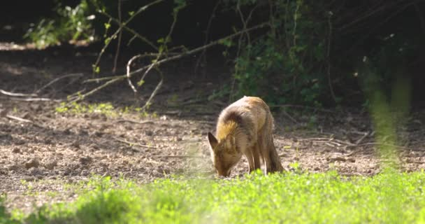 Strong red fox male (vulpes vulpes) eathing corn grain in the forest.