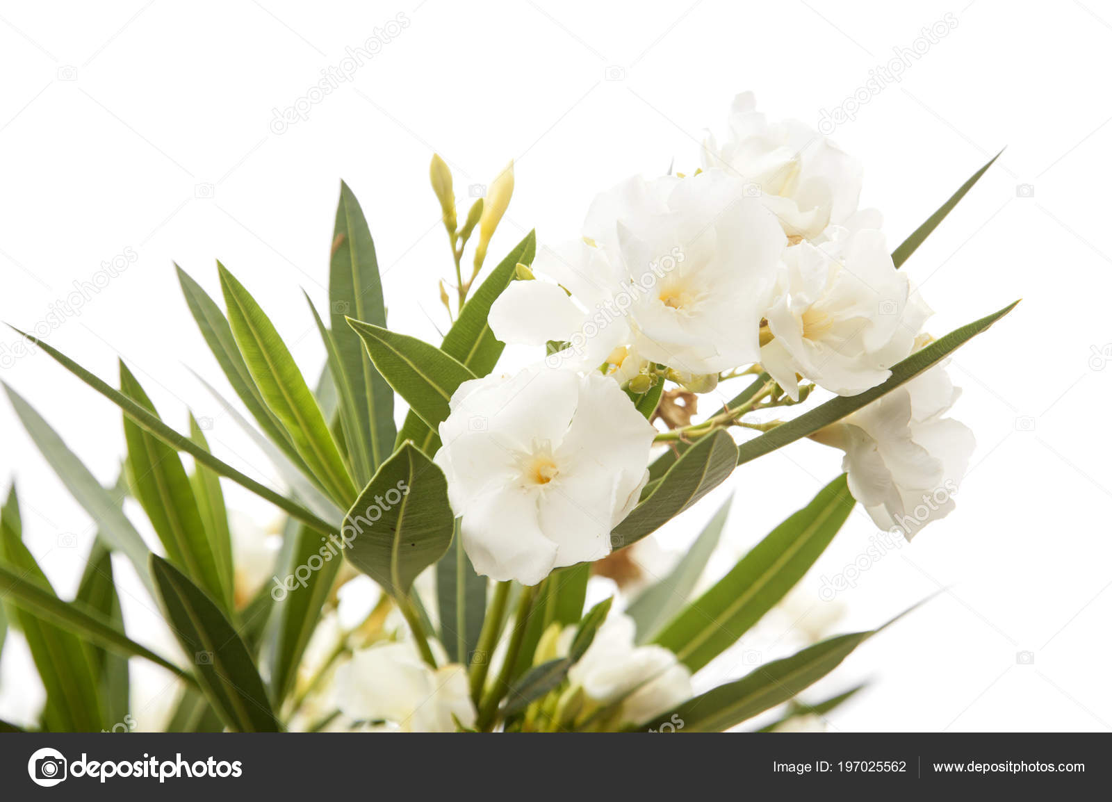 White oleander flowers isolated white background stock photo white oleander flowers isolated white background stock photo mightylinksfo